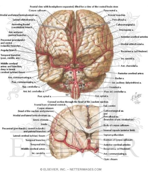 Welcome to netter images arteries of brain frontal view and section arterial supply of the brain frontal view ccuart Gallery