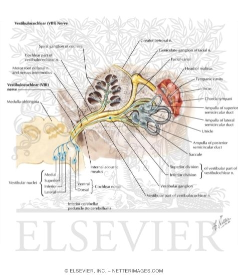 vestibulocochlear nerve (viii), Human Body