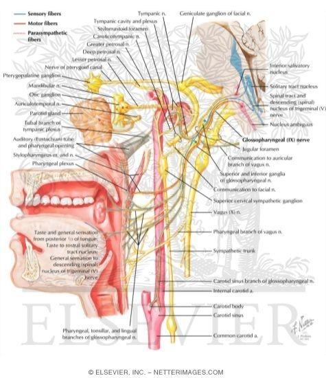 Glossopharyngeal Nerve (IX) and Otic Ganglion