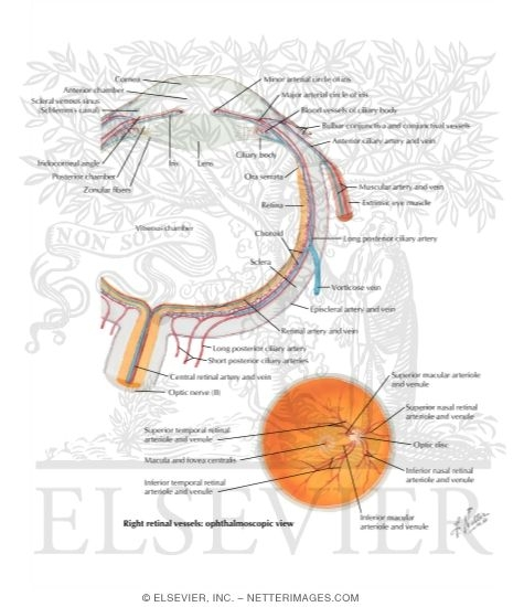 Intrinsic Arteries and Veins of Eye