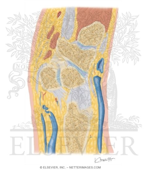 Cross Section of the Wrist: Sagittal View