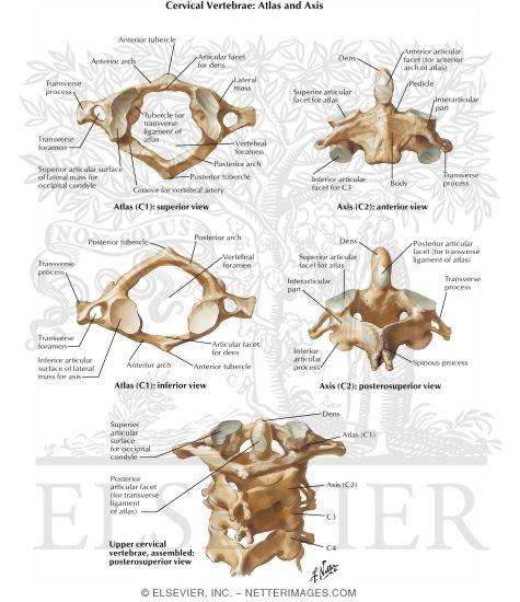 Cervical Vertebrae Atlas And Axis Spine Osteology