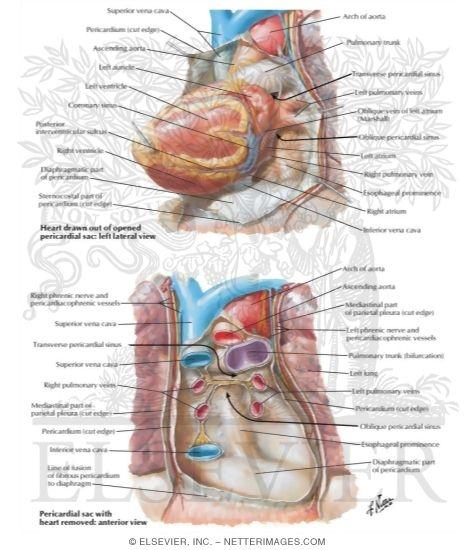 pericardial sac