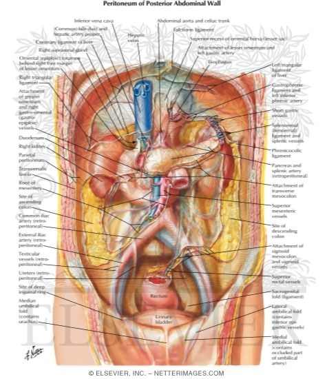 Of posterior abdominal wall peritoneum of posterior abdominal wall ccuart Images