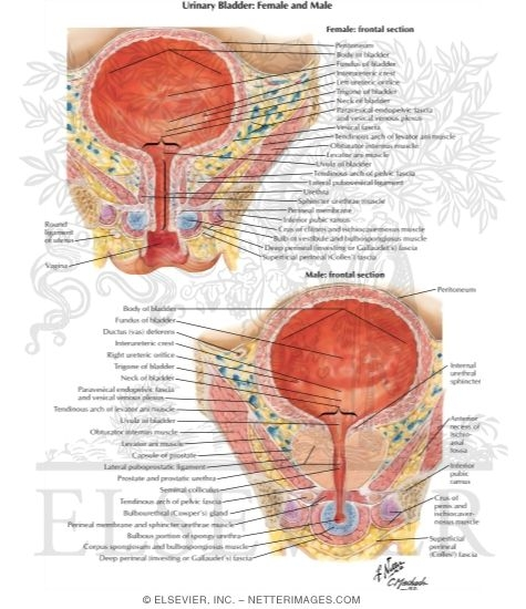 Urinary Bladder Female And Male