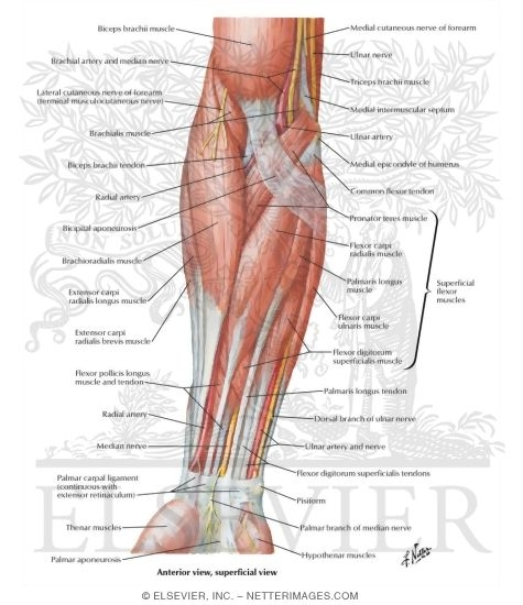 Of Forearm Superficial Layer Anterior View