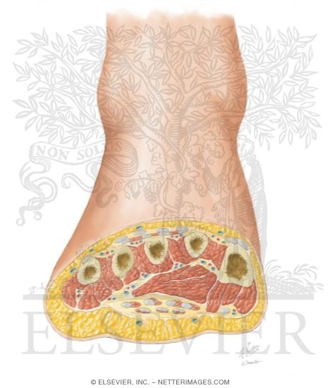 Cross Section of Foot