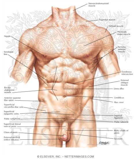Abdomen Surface Anatomy