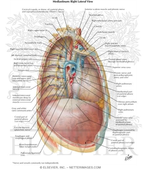 mediastinum: right lateral view right thoracic cavity and mediastinum, Human Body