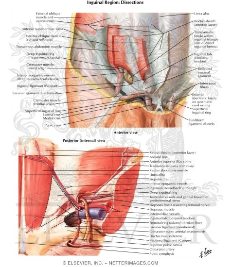 Inguinal Region: Dissections