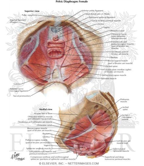 Pelvic Diaphragm Ii From Above Pelvic Diaphragm Female