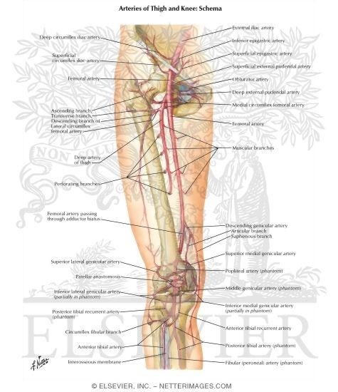 Of Thigh And Knee Schema Arteries Of The Leg And Knee
