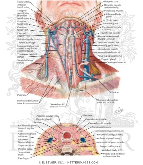 Anatomy of the Thyroid and Parathyroid Glands Superficial Veins and ...