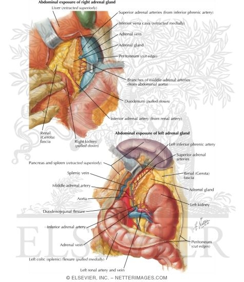 Anatomy and Blood Supply of the Suprarenal (Adrenal) Glands Arteries ...
