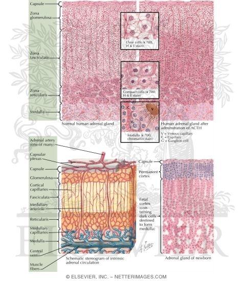 Of The Suprarenal Adrenal Glands