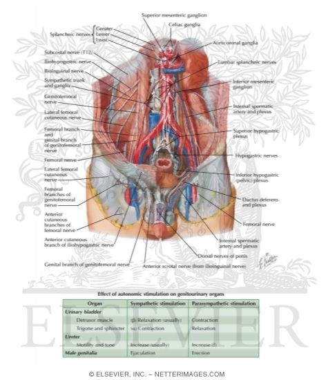 Anatomy of male genitals