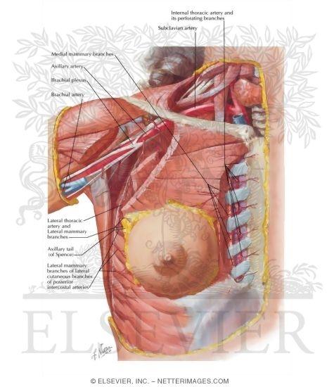 Arteries of Mammary Gland
