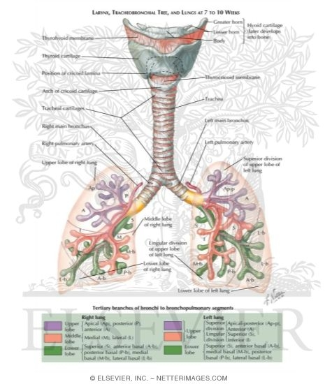 Illustration of Larynx, Tracheobronchial Tree, and Lungs at 7 to 8 Weeks from the Netter Collection