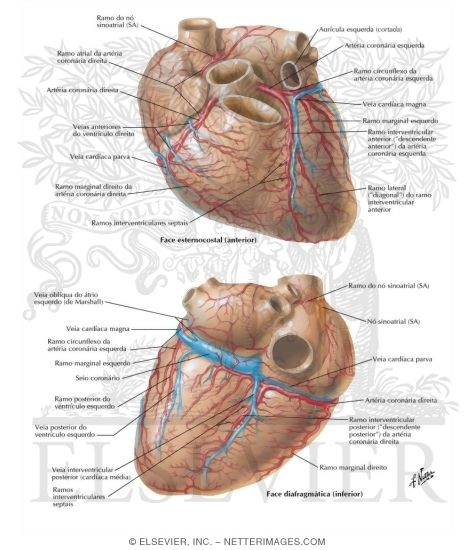 Illustration of Arteries and Veins of the Heart Coronary Arteries and Cardiac Veins from the Netter Collection