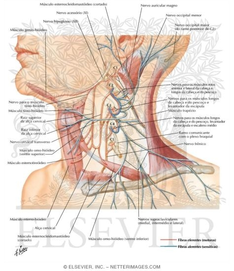 Illustration of Cervical Plexus from the Netter Collection