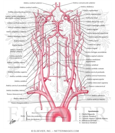 Illustration of Schema of Blood Supply to Brain Arteries to Brain: Schema from the Netter Collection