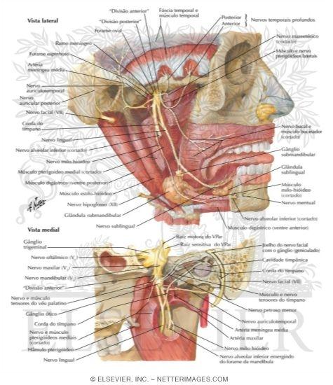 mandibular nerve (v3), Human Body