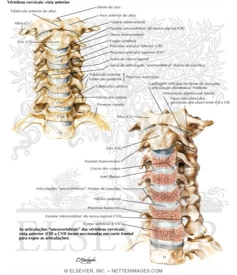 Cervical Vertebrae Uncovertebral Joints