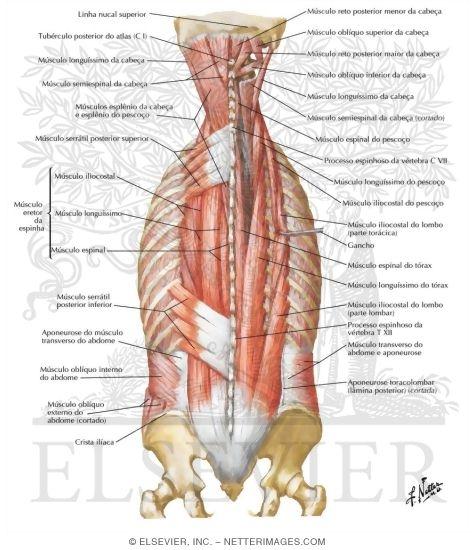 Intermediate Back Muscles Diagram - Block And Schematic Diagrams •