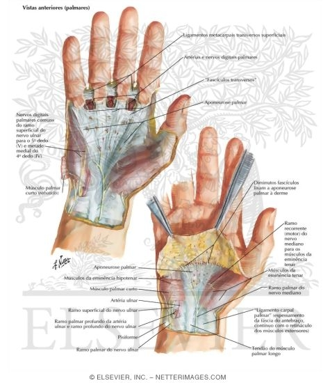 Skin and Subcutaneous Fascia of the Hand Wrist and Hand: Superficial ...