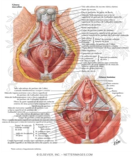Musculature External Sphincter And Levator Ani