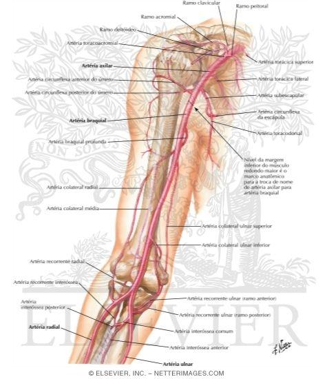 Arterial Anastomoses Around the Elbow