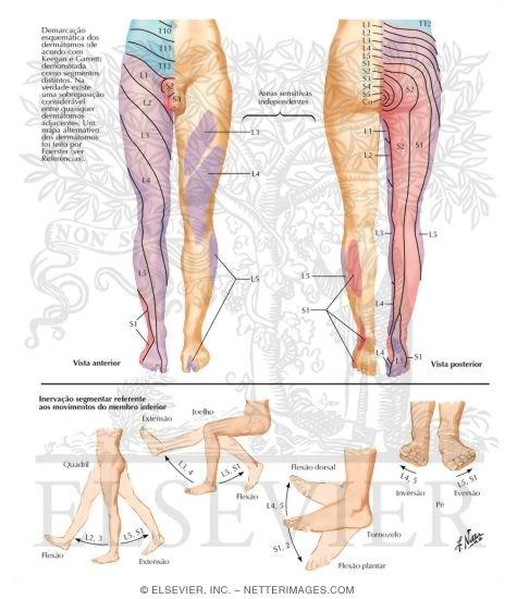 ... Innervation (Dermatomes) of Lower Limb Dermatomes of Lower Limb   475 x 550 jpeg 118kB