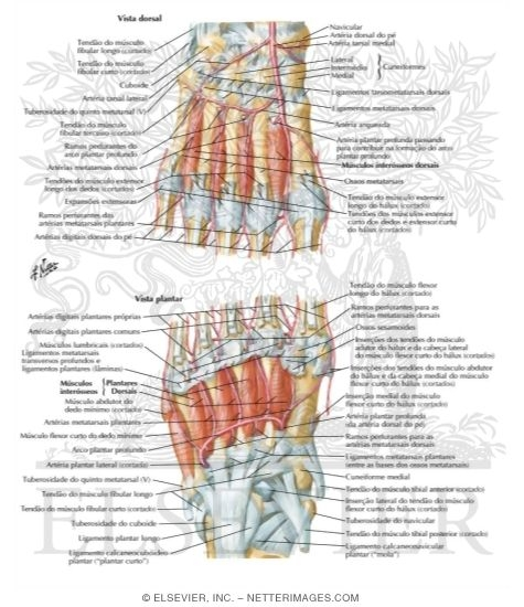 ... Plantar Art... Foot Arch Muscles