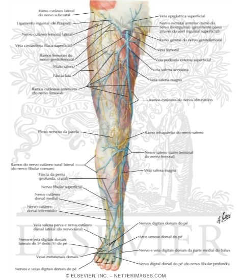 Superficial Nerves and Veins of Lower Limb: Anterior View