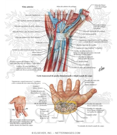 Flexor Tendons, Arteries, and Nerves At Wrist