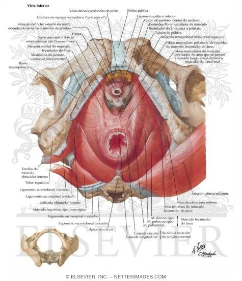 Illustration of Pelvic Diaphragm: Male from the Netter Collection