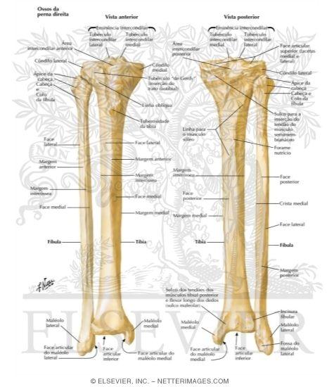 tibia and fibula, Human Body