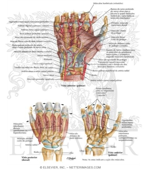 Intrinsic Muscles of Hand http://www.netterimages.com/image/59382.htm