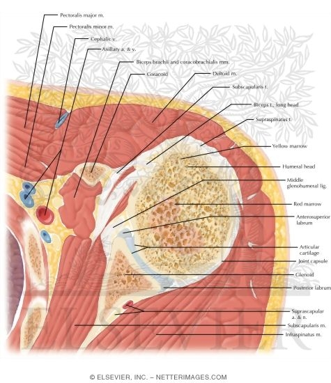Cross Section of the Shoulder: Axial View