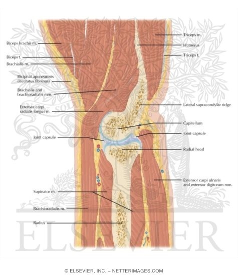 Cross Section of the Elbow: Sagittal View