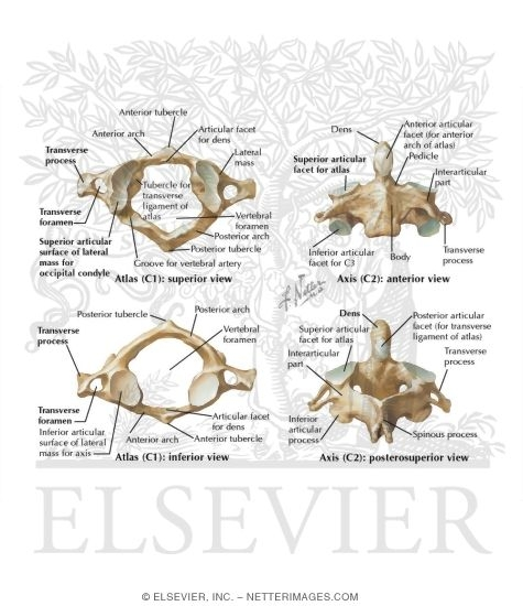 Illustration of Cervical Vertebrae: Atlas and Axis from the Netter Collection