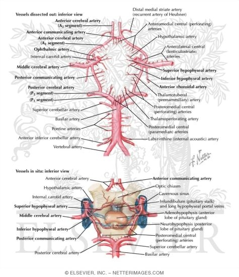 Cerebral Arterial Circle Willis Circle Of Willis Schematic Of The