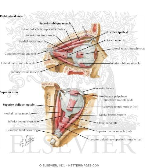 eye muscles, Human Body