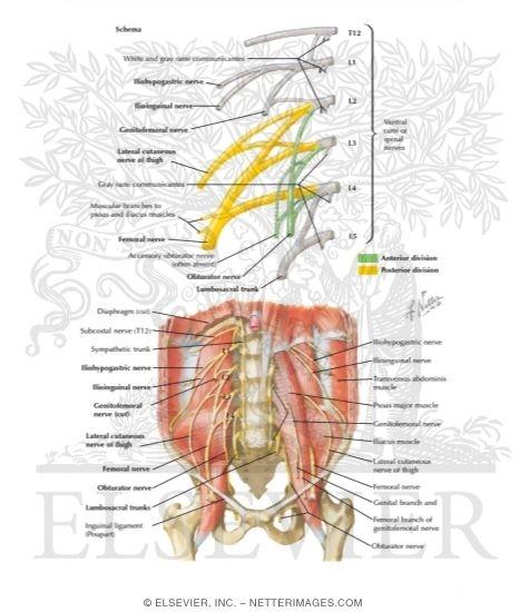 Lumbar Plexus Nerves: Lumbar Plexus