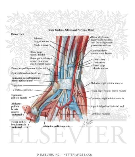 Flexor Tendons Arteries And Nerves At Wrist