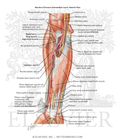 Famous Radial Nerve Anatomy Forearm Collection - Anatomy And ...