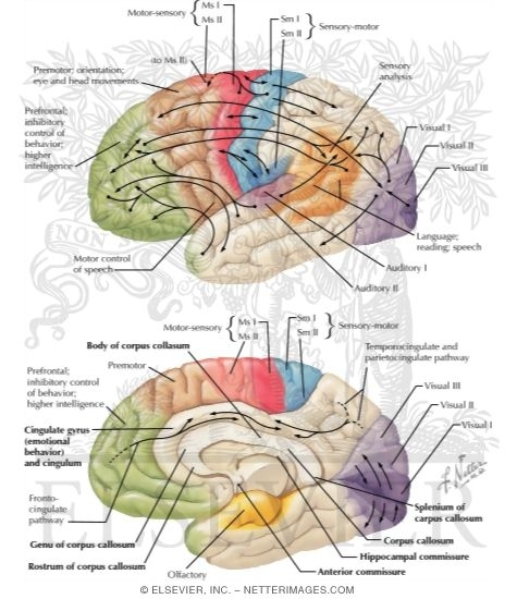 """localization of bran functions research and analysis Localization of brain function psychologists have found that the brain often shows """"localization of function"""" this means that different parts of the brain carry out different tasks, for example, vision, voluntary movement and speech."""
