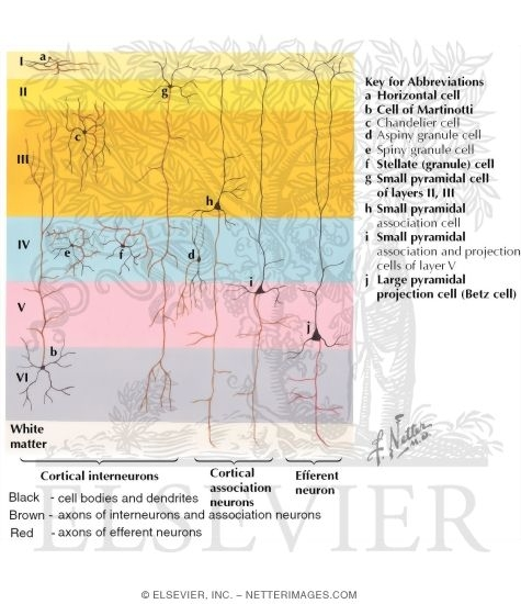 Of neurons in cerebral cortex types of neurons in cerebral cortex ccuart Images