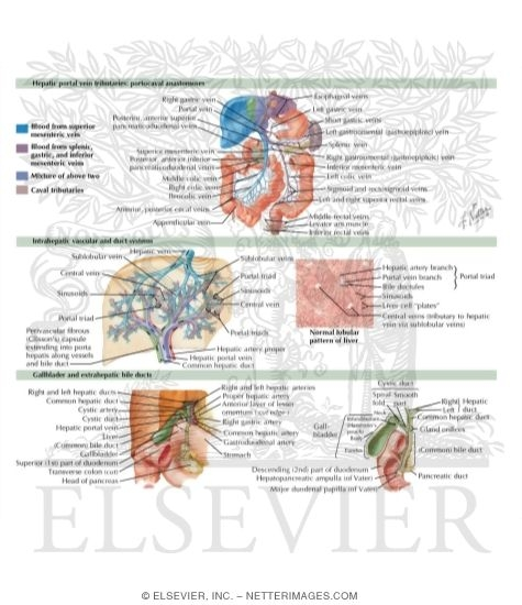 Normal Anatomy of the Hepatobiliary System