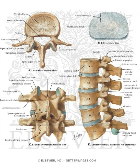 lumbar vertebrae and intervertebral disc spine: osteology, Human Body